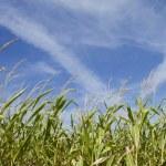 Maize crop — Stock Photo #3742668