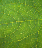 The structure of the green leaf. — Stock Photo