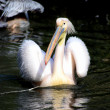 Pelican — Stock Photo #2752704