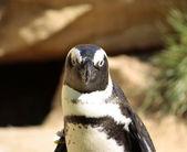 Tučňák — Stock fotografie