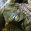 Royalty-Free Stock Photo: Iguana