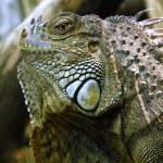 Iguana — Stock Photo #3710661