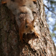 Squirrel — Photo