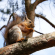 Stock Photo: Squirrel