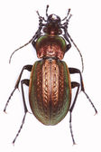 Carabus arvensis ground beetle — Stock Photo