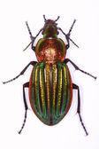 Carabus nitens ground beetle — Stock Photo