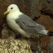 Kittiwake (Rissa tridactyla) on nest — Stock Photo