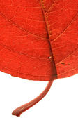 Backlit red leaf — Stock Photo