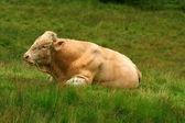 フィールドの上に敷設の雄牛 — ストック写真