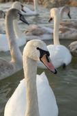 Flight of swans — Stock Photo