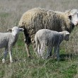 Sheep with lambs — Stock Photo