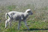 Small lamb — Stock Photo