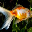 Gold fish in aquarium — Stock Photo #2753154