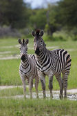 Pair of Zebras — Stock Photo