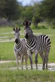 Pair of Zebras — Stock Photo