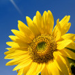 Sunflower — Stock Photo #2769353