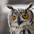 Hypnotic owl - Stock Photo