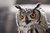 Hypnotic owl — Stock Photo