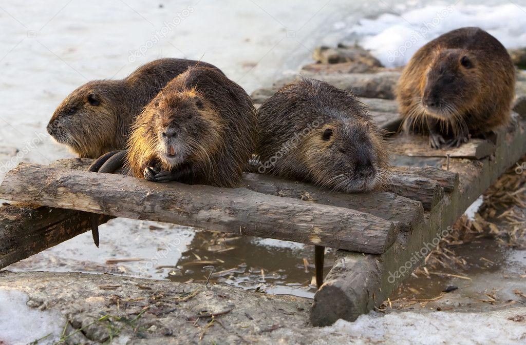 Group Of Beavers 120