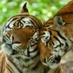 Tiger Pair — Stock Photo #3165203