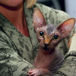 Stock Photo: Sphinx cat