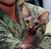Sphinx cat — Stock Photo