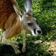 Stock Photo: Brown kangaroo