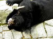 Himalayan black bear — Stock Photo