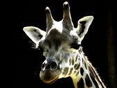 Giraffe's head — Stock Photo