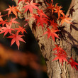 Stock Photo: Autumnal maple tree