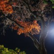 Night maple tree — Stock Photo #2803036