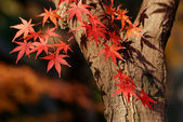 Autumnal maple tree — Stock Photo