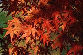 Autumnal maple leafs — Stock Photo
