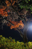 Night maple tree — Stock Photo