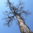 Stock Photo: Larch tree