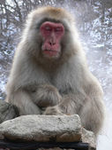 Japanese Macaque relaxing — 图库照片