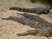 Crocodiles on the beach — Stock Photo