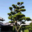 Japanese tree - Stockfoto