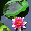 Lotus flower — Stock Photo