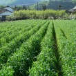 Rural agriculture field — Stock Photo