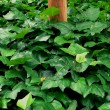Green leafs background — Stock Photo #3149431