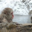 Japanese Macaque in hot spring — Stock Photo