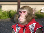 Japanese macaque in show-costume — Stock Photo