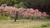 Blühen kirschen — Stockfoto