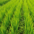 Stock Photo: Rice-field rows
