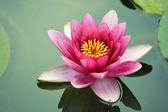 Close-up lotus flower — Stock Photo