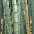 Bamboo forest — Stock Photo #3373007