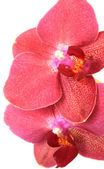 Orchid close-up — Stock Photo