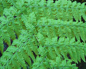 Green Feathery Fern Fronds — Stock Photo