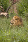 Löwe bei der Mittagsruhe — Photo